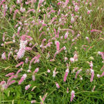 Pimpernel - Sanguisorba 'Pink Brushes'