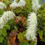 Sanguisorba tenuifolia var. alba - Pimpernel - Sanguisorba tenuifolia var. alba