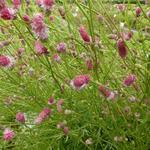 Sanguisorba tenuifolia 'Pink Elephant' - Pimpernel - Sanguisorba tenuifolia 'Pink Elephant'