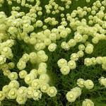 Santolina chamaecyparissus 'Edward Bowles'  - Heiligenbloem,Cipressenkrui - Santolina chamaecyparissus 'Edward Bowles'