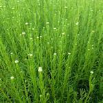 Santolina rosmarinifolia - Heiligenbloem / cypressenkruid, olijvenkruid - Santolina rosmarinifolia