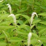 Saururus cernuus  - Leids plantje - Saururus cernuus