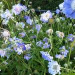 Scabiosa caucasica 'Clive Greaves' - Duifkruid