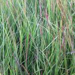 Schizachyrium scoparium  - Schizachyrium scoparium  - Klein prairiegras