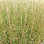 Schizachyrium scoparium 'Cairo' - Kleine prairiegras - Schizachyrium scoparium 'Cairo'