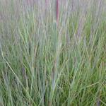 Schizachyrium scoparium 'Prairie Blues' - Klein prairiegras - Schizachyrium scoparium 'Prairie Blues'