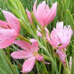 Hesperantha coccinea 'Mrs Hegarty'  - Kafferlelie - Hesperantha coccinea 'Mrs Hegarty'