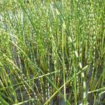 Schoenoplectus lacustris subsp. tabernaemontani 'Zebrinus' - Bonte bies - Schoenoplectus lacustris subsp. tabernaemontani 'Zebrinus'