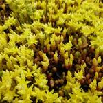 Sedum acre 'Yellow Queen' - Sedum acre 'Yellow Queen' - Muurpeper