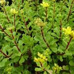 Vetkruid - Sedum floriferum 'Weihenstepaner Gold'