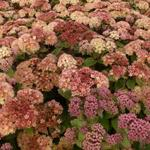 Sedum 'Moonlight Serenade' - Hemelsleutel