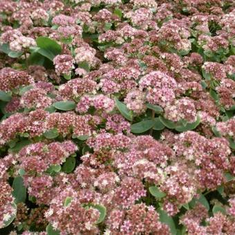Sedum 'Stewed Rhubarb Mountain'