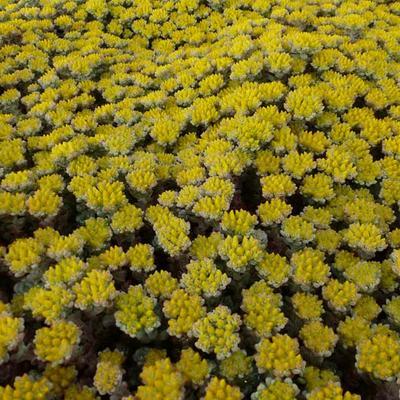 Sedum spathulifolium 'Cape Blanco' - Vetkruid - Sedum spathulifolium 'Cape Blanco'