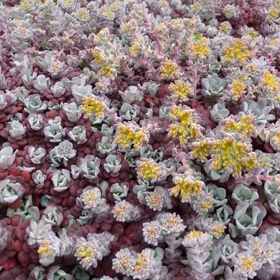 Sedum spathulifolium 'Purpureum'  - Vetkruid - Sedum spathulifolium 'Purpureum'