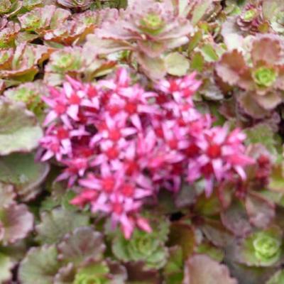 Sedum spurium 'Fuldaglut' - Kaukasische muurpeper, roze vetkruid - Sedum spurium 'Fuldaglut'