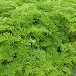 Karwijselie - Selinum wallichianum