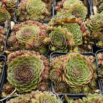 Sempervivum 'Granat' - Huislook - Sempervivum 'Granat'