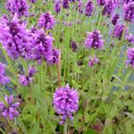 Stachys officinalis - Andoorn