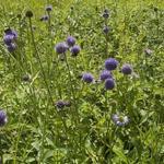 Succisa pratensis - Blauwe knoop - Succisa pratensis