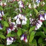 Symphytum grandiflorum 'Sky Blue Pink' - Symphytum grandiflorum 'Sky Blue Pink' - Smeerwortel