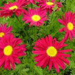 Tanacetum coccineum 'Robinson's Red' - Wormkruid - Tanacetum coccineum 'Robinson's Red'