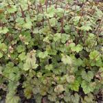 Tellima grandiflora 'Moorblut' - Tellima grandiflora 'Moorblut' - Mijterloof