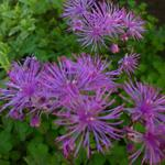 Ruit - Thalictrum 'Black Stockings'