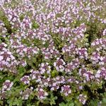 Thymus citriodorus 'Silver Queen'  - Citroentijm