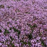 Thymus 'Doone Valley' - Tijm / looptijm - Thymus 'Doone Valley'