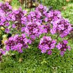 Thymus praecox 'Elfin' - Kruiptijm - Thymus praecox 'Elfin'