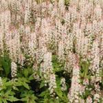 Tiarella 'Pink Bouquet' - Schuimbloem/Perzische muts/Schuimkaars - Tiarella 'Pink Bouquet'