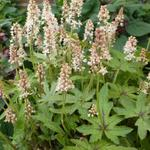Tiarella 'Skeleton Key' - Schuimkaars - Tiarella 'Skeleton Key'