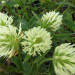 Trifolium ochroleucum - Klaver - Trifolium ochroleucum
