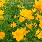 Trollius chinensis 'Golden Queen' - Kogelbloem