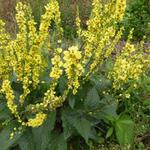 Verbascum nigrum - Zwarte toorts - Verbascum nigrum