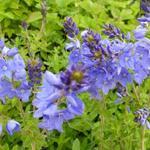 Veronica austriaca subsp. teucrium 'Royal Blue' - Ereprijs - Veronica austriaca subsp. teucrium 'Royal Blue'