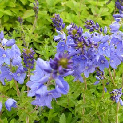 Veronica austriaca subsp. teucrium 'Royal Blue' -