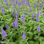 Veronica longifolia 'Blauriesin' - Ereprijs - Veronica longifolia 'Blauriesin'