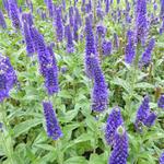 Ereprijs - Veronica longifolia 'Marietta'