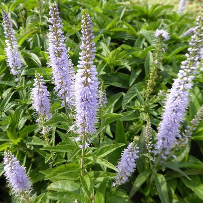 Veronica longifolia 'Zoë' -