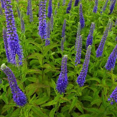 Veronica spicata 'Sunny Border Blue' -