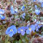 Ereprijs - Veronica peduncularis 'Georgia Blue'