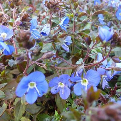 Veronica peduncularis 'Georgia Blue' -