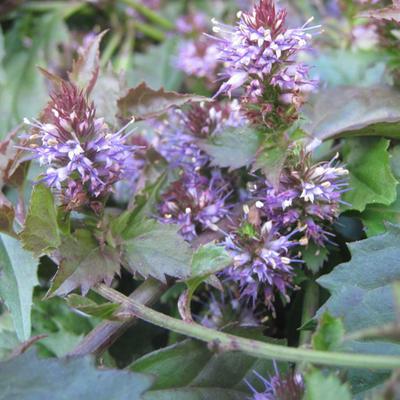 Veronicastrum latifolium -