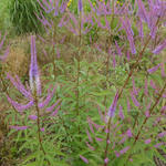 Virginische ereprijs - Veronicastrum virginicum 'Fascination'