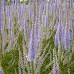 Veronicastrum virginicum 'Lavendelturm' - Virginische ereprijs - Veronicastrum virginicum 'Lavendelturm'
