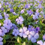 Kleine maagdenpalm - Vinca minor 'Flower Power'