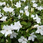 Kleine maagdenpalm - Vinca minor 'White Power'