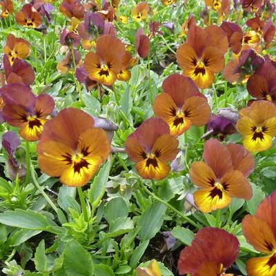 Viola cornuta  'Irish Molly' -