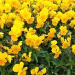 Viola cornuta 'Lutea Splendens' - Hoornviooltje - Viola cornuta 'Lutea Splendens'